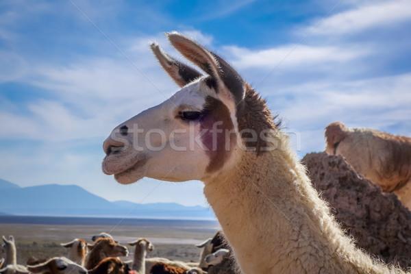 Stock fotó: Nyáj · Bolívia · park · tájkép · haj · hegy