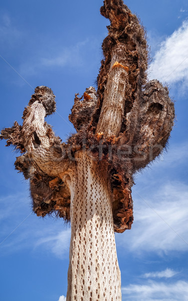 Dry giant cactus in the desert, Argentina Stock photo © daboost