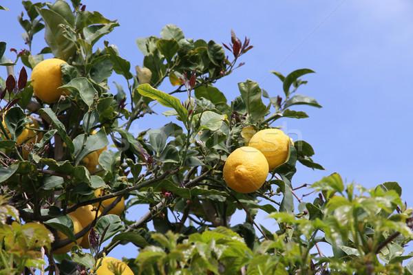 lemon tree detail Stock photo © daboost