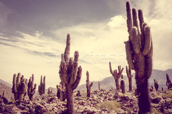 Gigant Kaktus pustyni chmury górskich lata Zdjęcia stock © daboost