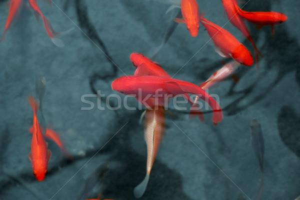 Japoński czerwony ryb koi staw charakter Zdjęcia stock © daboost