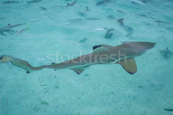 Blacktip shark in moorea island lagoon Stock photo © daboost