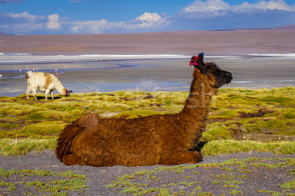 Lamas herd in Laguna colorada, sud Lipez Altiplano reserva, Boli Stock photo © daboost
