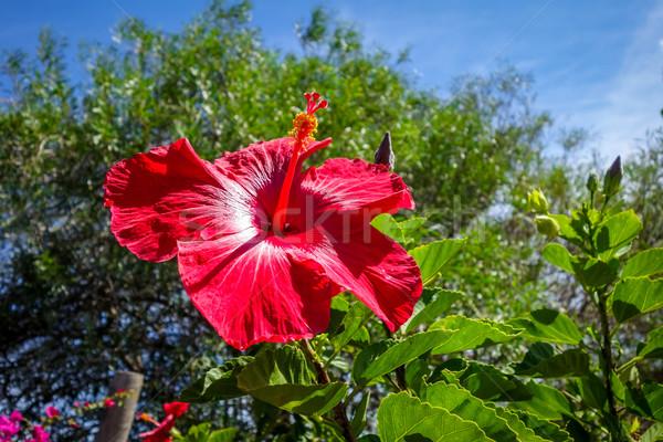 Ebegümeci çiçek kırmızı polinezya simge Stok fotoğraf © daboost