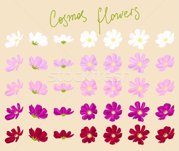 vector set of cosmos flowers  Stock photo © Dahlia