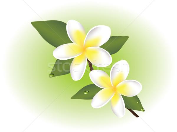 vector frangipani flowers Stock photo © Dahlia