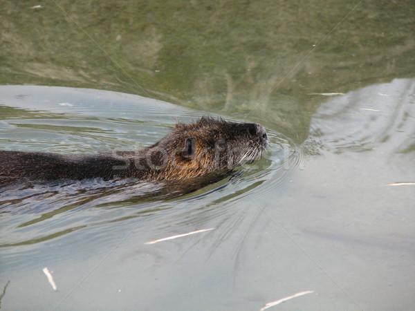 бобр плаванию воды дерево древесины природы Сток-фото © daneel