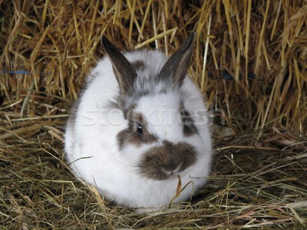 White rabbit Stock photo © daneel