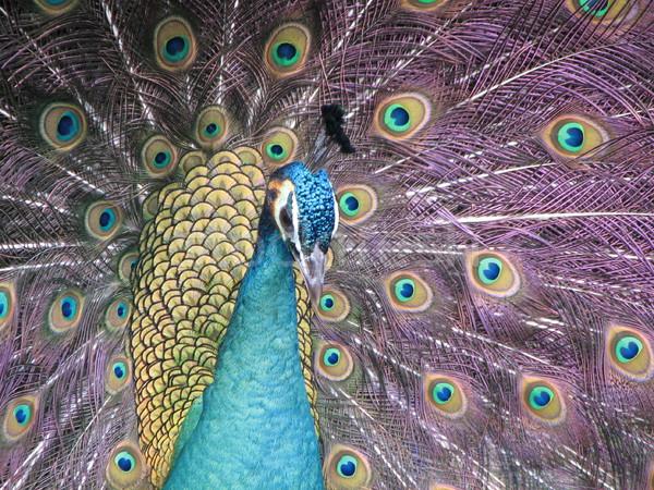 Tavuskuşu poz kamera göz doğa güzellik Stok fotoğraf © daneel