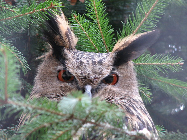Oehoe vergadering boom kijken oog licht Stockfoto © daneel