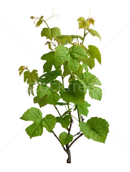 Winorośl odizolowany biały liści roślin rolnictwa Zdjęcia stock © danny_smythe