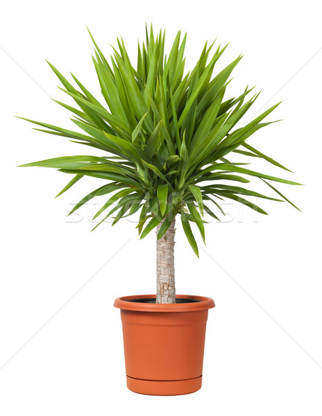 Yucca Potted Plant isolated Stock photo © danny_smythe