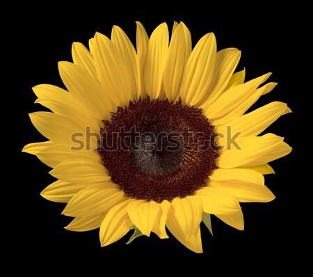Girassol isolado preto flor planta solo Foto stock © danny_smythe