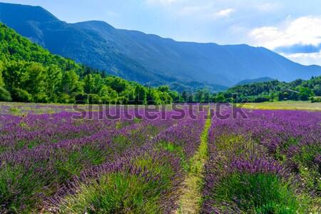 Lavender field Stock photo © Dar1930