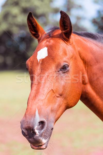 horse portrait Stock photo © Dar1930