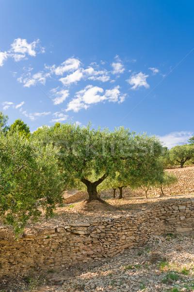 olive grove Stock photo © Dar1930