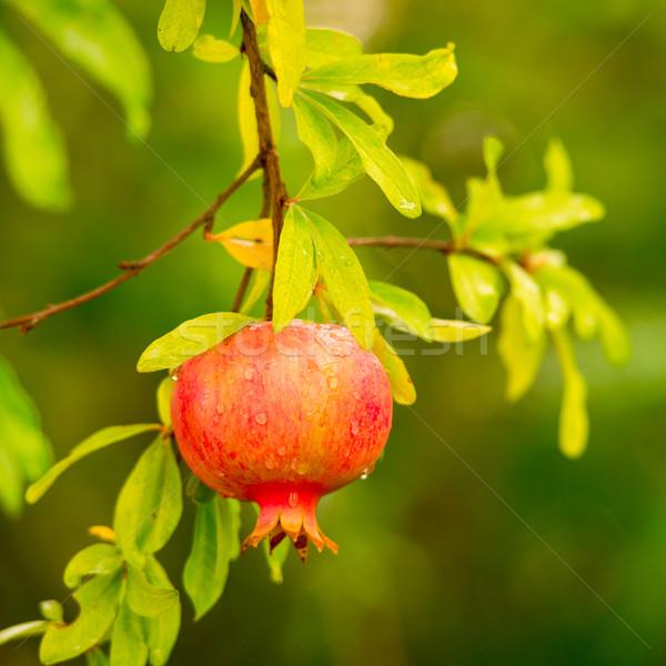 ザクロ 表 緑 赤 色 食べ ストックフォト © Dar1930