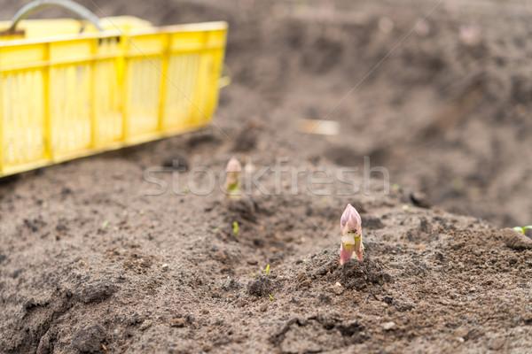 Asparagus on the field Stock photo © Dar1930