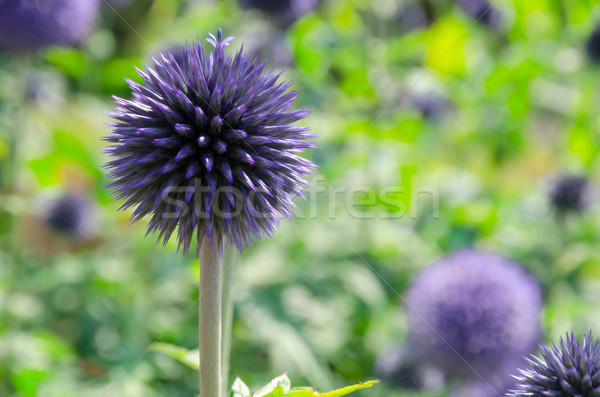 Blooming blau Allium giganteum Stock photo © Dar1930