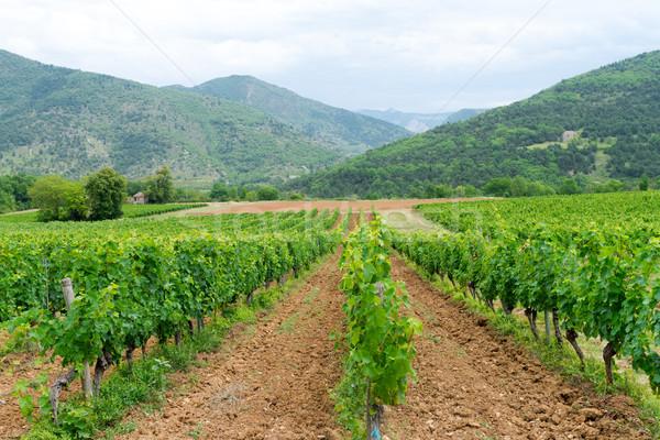 vineyard in provence Stock photo © Dar1930