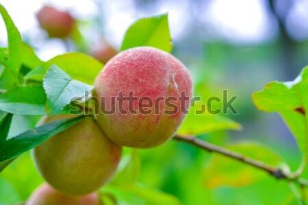 The peach, Prunus persica, Stock photo © Dar1930