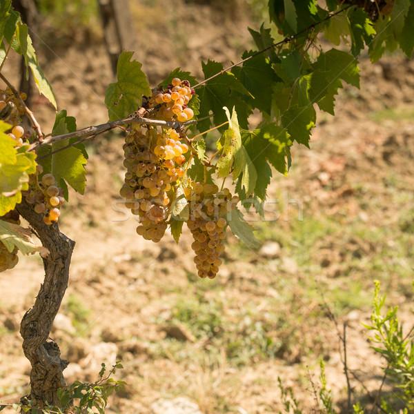 Toszkán szőlő bor mező utazás farm Stock fotó © Dar1930