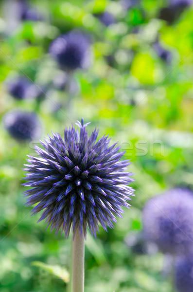 Stock fotó: Virágzó · földgömb · természet · kert · nyár · gyönyörű