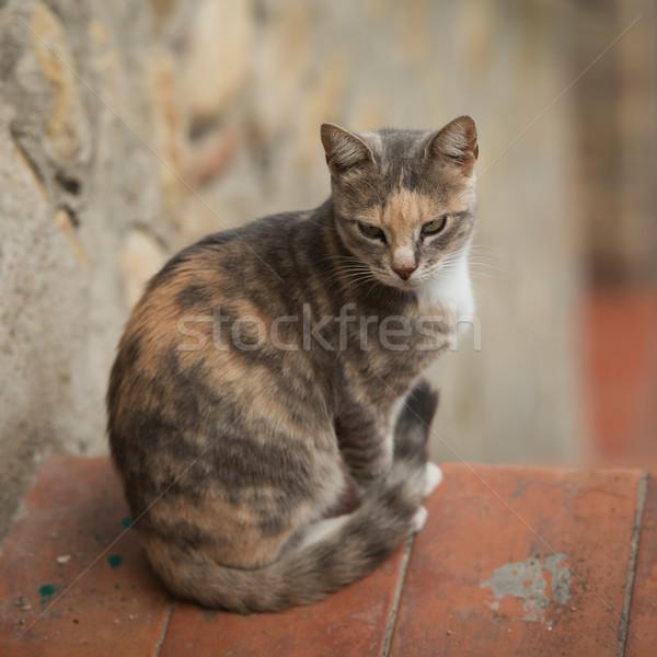 Házimacska természet macska portré szín fiatal Stock fotó © Dar1930