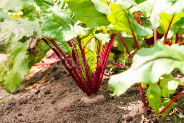 ビートの根 食品 庭園 背景 秋 農業 ストックフォト © Dar1930