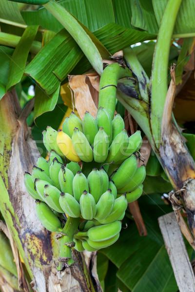 Bananas on tree Stock photo © darkkong