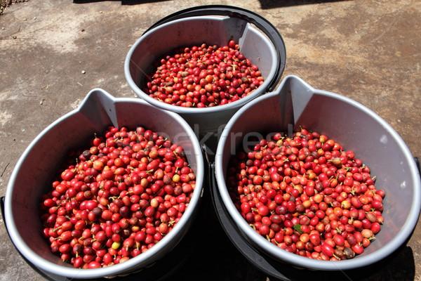 Three buckets full of ripe red coffee beans Stock photo © darrinhenry