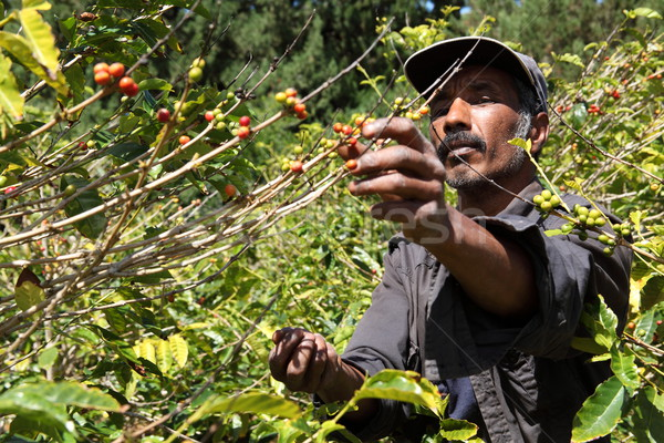 St Helena coffee farmer picking ripe cherry beans Stock photo © darrinhenry