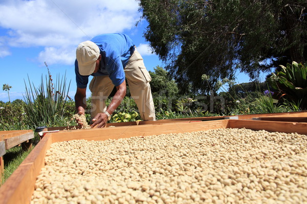 Farmer drying coffee beans in the sun Stock photo © darrinhenry