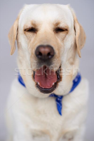 Beautiful labrador having a yawn Stock photo © dash