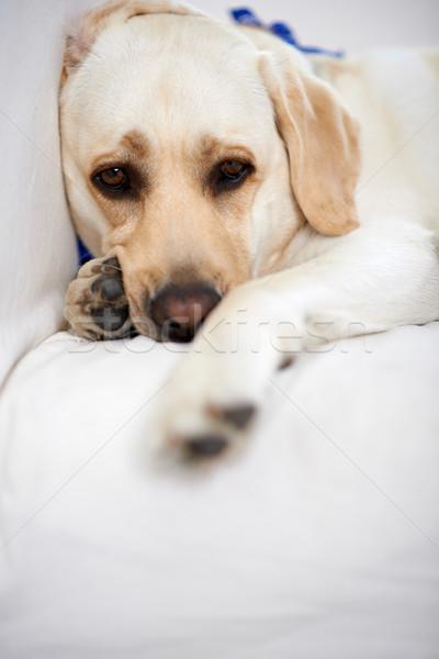 Gouden labrador bank naar camera Stockfoto © dash