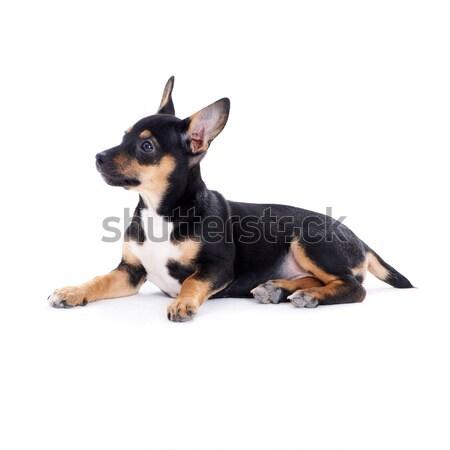 Young black coat puppy dog isolated on white Stock photo © dash