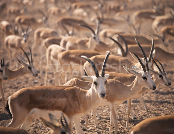 Gazelles. Arabian Wildlife in natural habitat Stock photo © dashapetrenko
