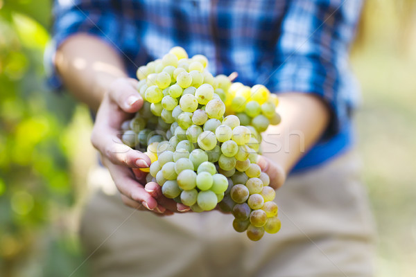 Grapes harvest. Farmer with freshly harvested grapes. Stock photo © dashapetrenko