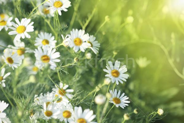 Domaine Daisy été prairie ensoleillée météorologiques Photo stock © dashapetrenko