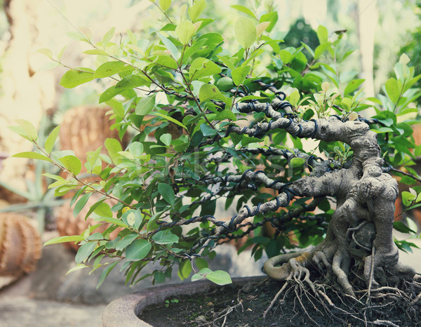 Bonsai tree outdoors  Stock photo © dashapetrenko