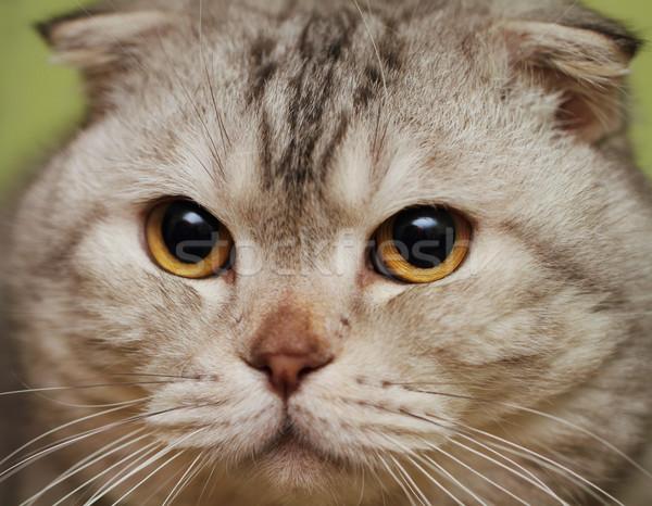 Portrait of the scottish fold cat Stock photo © dashapetrenko