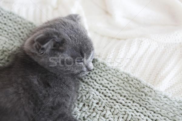 Сток-фото: серый · британский · котенка · Top