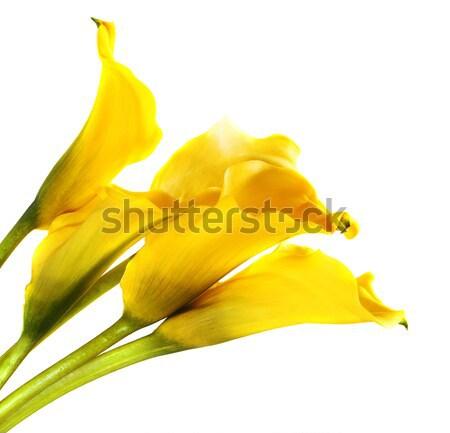 Bunch of yellow cala lilies Stock photo © dashapetrenko
