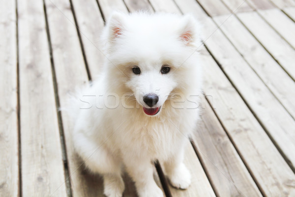 Funny Samoyed puppy  Stock photo © dashapetrenko