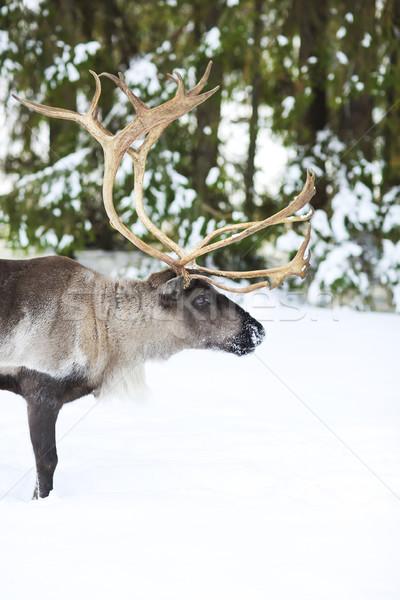 Rénszarvas természetes környezet Skandinávia északi sarki Stock fotó © dashapetrenko