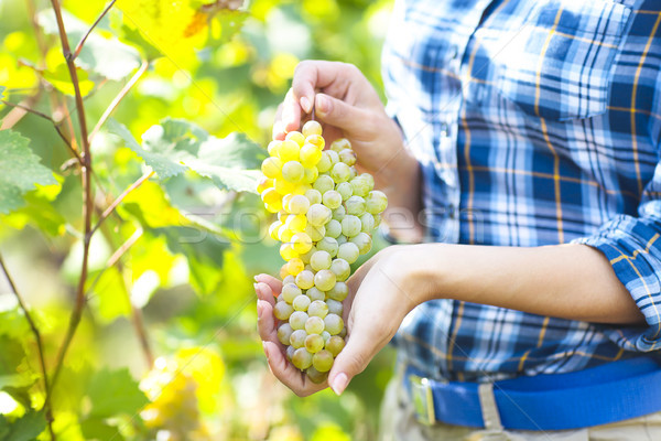 Stock photo: Grapes harvest. Farmer with freshly harvested grapes.