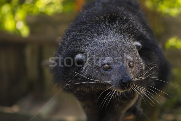 Binturong or bearcat (Arctictis binturong) Stock photo © dashapetrenko