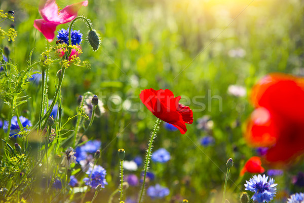 Summer landscape with a field of red poppies and cornflower Stock photo © dashapetrenko