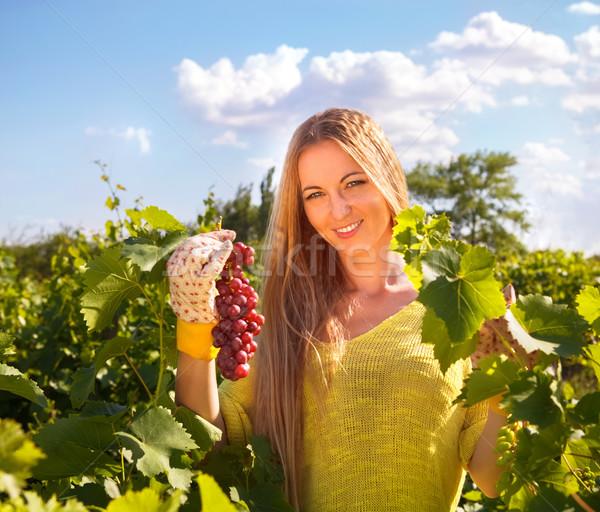 Woman winegrower picking grapes at harvest time  Stock photo © dashapetrenko