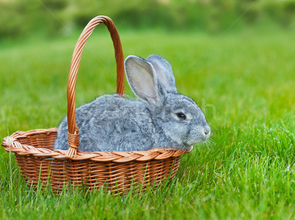 Cute little grey rabbit in the basket on green grass Stock photo © dashapetrenko